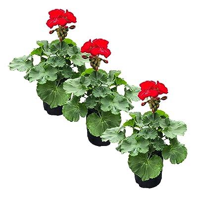 "The Three Company Pelargonium Set of 3 Live Zonal Geranium 5"", Red: Garden & Outdoor"