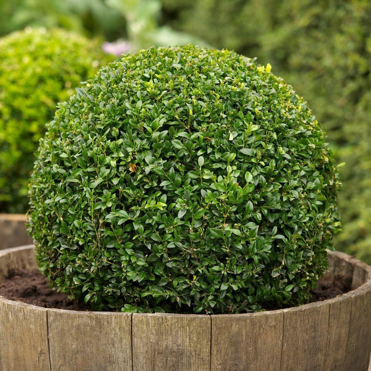 Boxwood Natural Evergreen Useful Beautiful Bonsai Seed Decoration  100 PCS