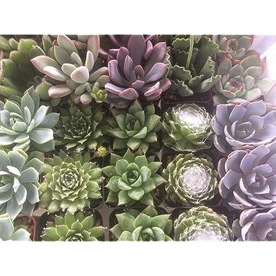 "Succulent Oasis 2INCH36 2"" Succulent 36 Plant Assortment : Garden & Outdoor"
