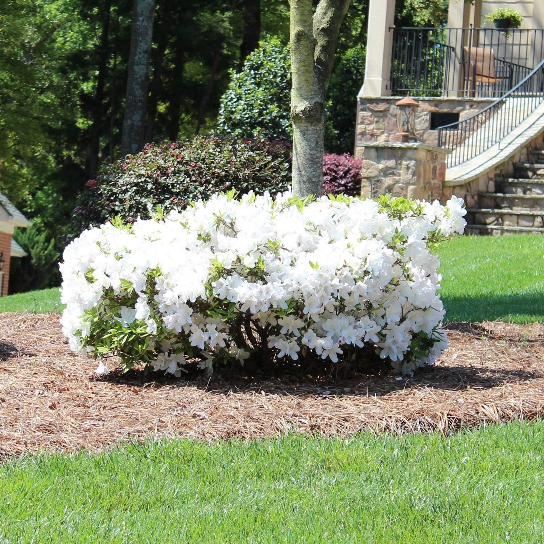 Amazon Com Brighter Blooms Autumn Angel Encore Azalea Indoor Outdoor Flowering Plant 3 Gallon No Shipping To Az Garden Outdoor