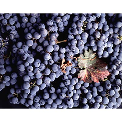 Vitis vinifera Cabernet Sauvignon WINE GRAPE Seeds! : Garden & Outdoor