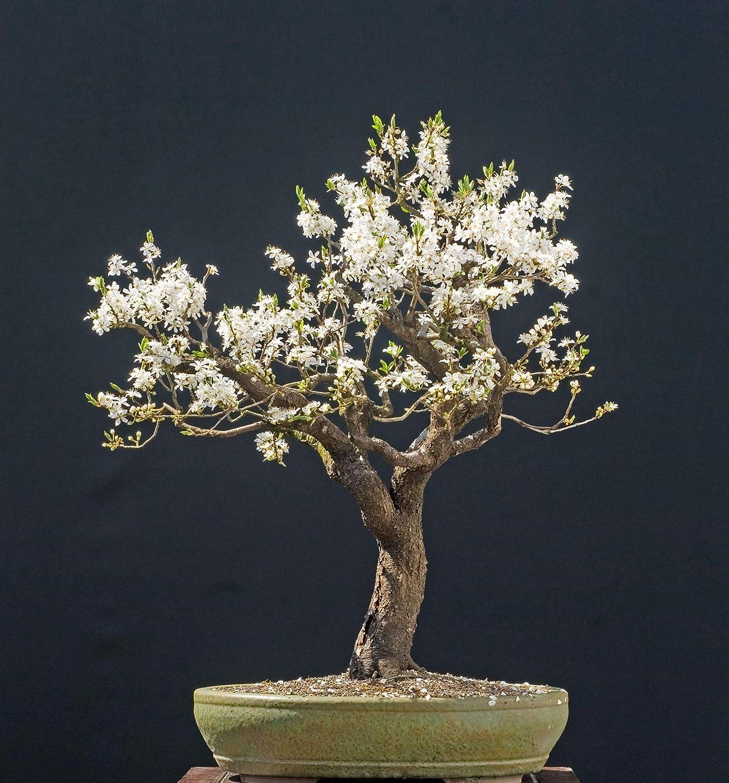 Hardy Perennial Tree Rare 10Pcs Cherry Blossom Tree Bonsai
