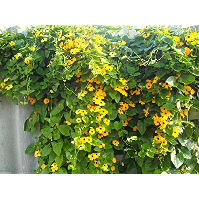 Black-eyed Susan Vine -Yellow Sunrise- Thunbergia Alata (10 Seeds) Flowers Vine : Garden & Outdoor