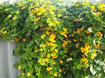 Amazon black eyed susan vine yellow sunrise thunbergia alata black eyed susan vine yellow sunrise thunbergia alata 10 seeds flowers mightylinksfo