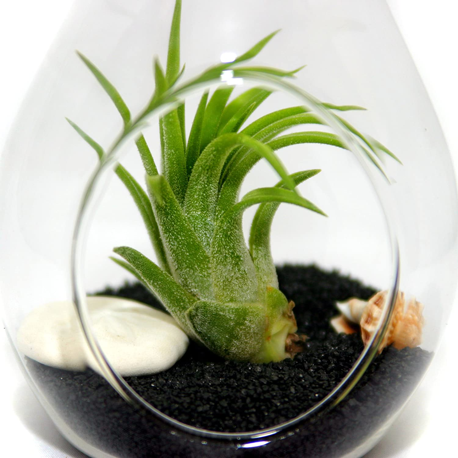 Air Plant Terrariums – Set of 3 Air Plant Teardrop Terrariums – 3 Complete Kits with glass terrariums, air plants, sand, starfish and seashells – Free Air Plant Care Ebook with every order