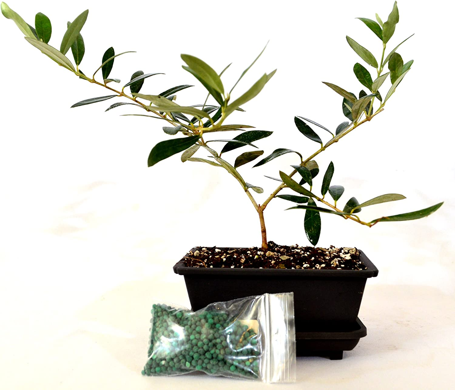 Amazon Com 9greenbox Olive Tree Bonsai With Water Tray And Fertilizer Grocery Gourmet Food