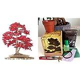 Japanese Maple Complete Bonsai Growing Kit - Soil/Pots/Seeds2x/Wire/Fertilzer/Mesh/Tweezer/PlantMarkers