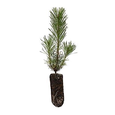 Shore Pine | Medium Tree Seedling | The Jonsteen Company : Garden & Outdoor