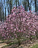 "Magnolia 'Jane'– 6"" - 12"" Tall Tree/Shrub - 3.5"" Healthy Potted Plant – 3 Pack by Growers Solution"