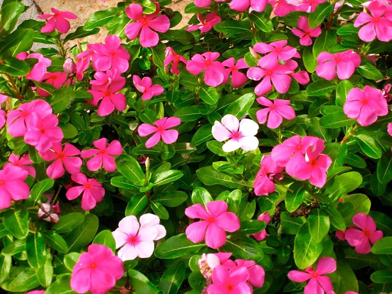 Amazon Vinca Seeds Deep Pink Periwinkle 200 Seeds Heat
