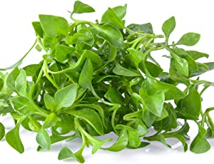 Outsidepride Watercress Herb Plant Seeds - 5000 Seeds