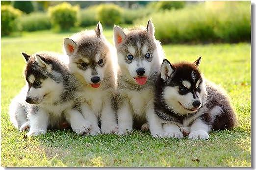 Amazon.com: 1 x Cartel de perro Husky Cachorro de dorado ...