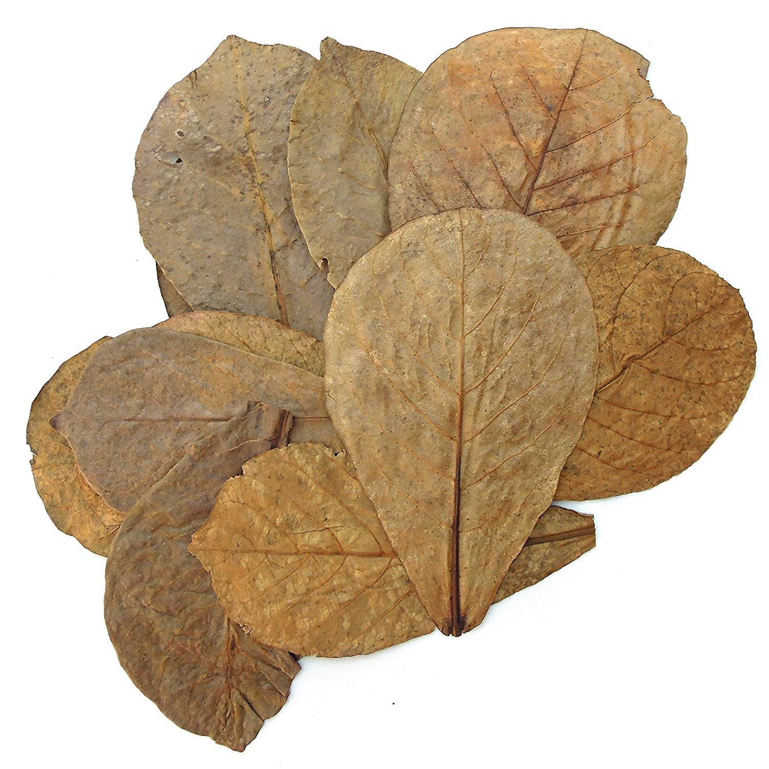 Tantora Premium Grade Catappa Indian Almond Leaves Size Medium 50 Leaves 5-7 Inches by Tantora