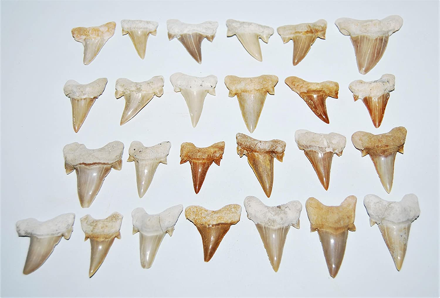 OTODUS Shark Tooth Medium LOT of 25 Real Fossils 1 1/4 to 2 inch Size Meteorites & More