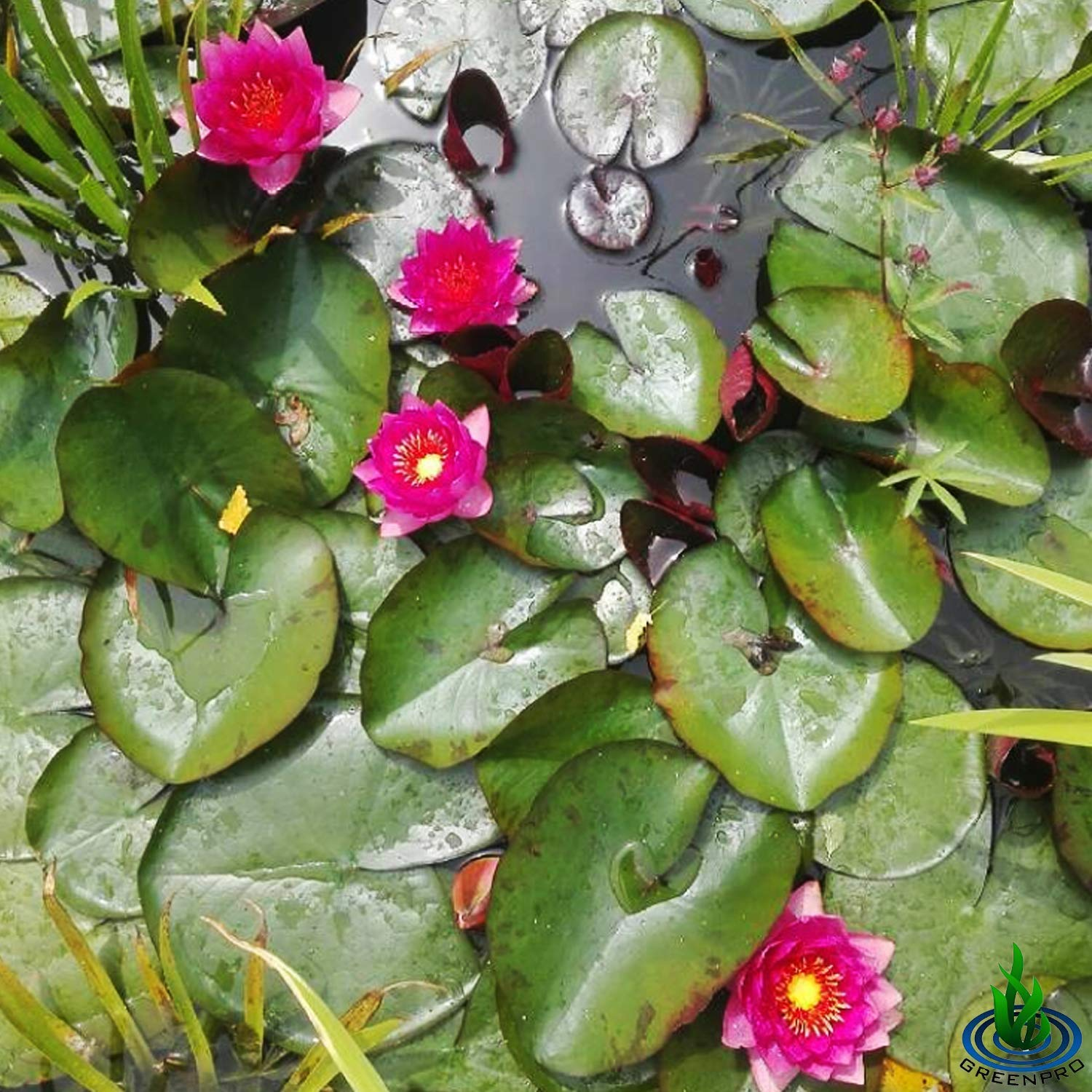 Live Water Lily Tuber Nymphaea James Brydon Pink Hardy Aquatic Plants for Aquarium Freshwater Fish Pond Garden by Greenpro (Image #5)