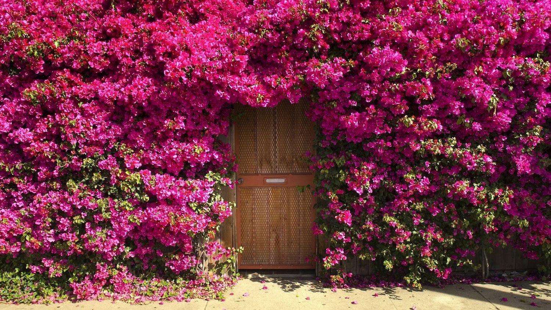 Nooelec Seeds India E Garden Pink Climbing Rose Flower Seeds Amazon