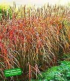 BALDUR-Garten Miscanthus-Hecke Chinaschilf, 1 Pflanze