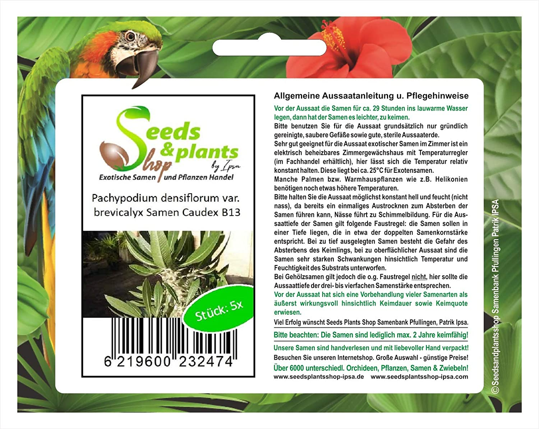 brevicalyx CAUDEX plantes-graines b13 5x Pachypodium densiflorum var