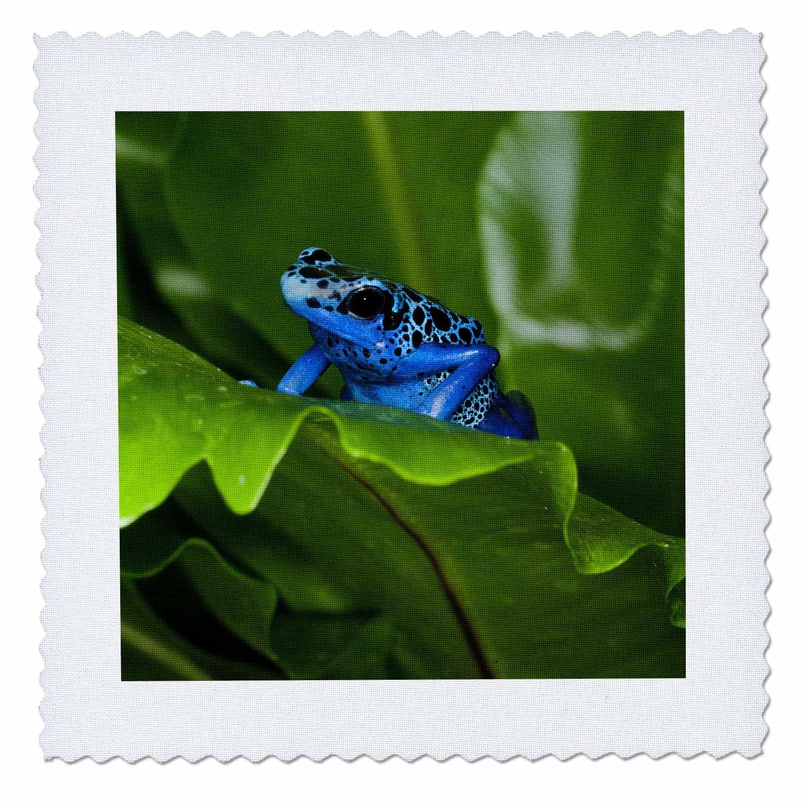 3dRose Danita Delimont - Frogs - South America, Suriname. Blue dart frog on leaf. - 16x16 inch quilt square (qs_278323_6)