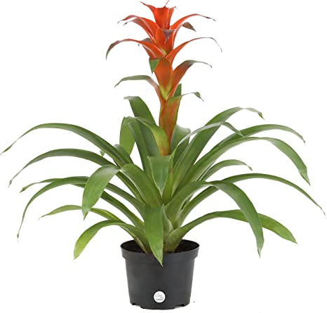Red Growers Choice Pink Orange Yellow Costa Farms Live Bromeliad Indoor Tabletop Plant in 6-Inch Growers Pot