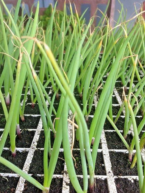 Risala - 40 tapones para plantas de cebolla, color blanco Oferta ...