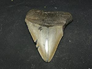 "Huge 4.1"" Megalodon Shark Fossil Tooth South Carolina"