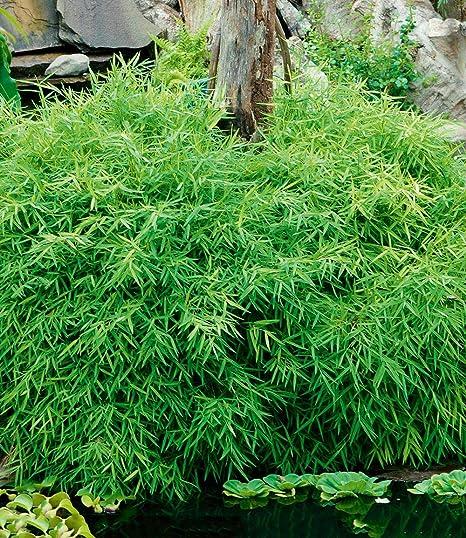 Amazon Com Cicitar Garden Rare Groundcover Bamboo Pot Evergreen