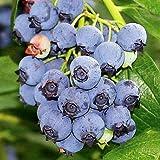 """Blueray Blueberry Plant - 20 Pounds of Berries per Bush - 4"""" Pot"""