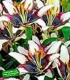 BALDUR-Garten Lilie 'Netty´s Pride',3 Knollen