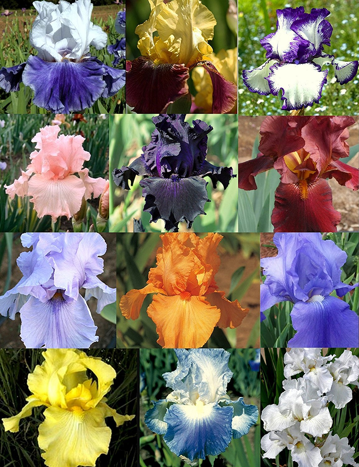 Reblooming Iris Collection 60 Bulbs Mix Colors