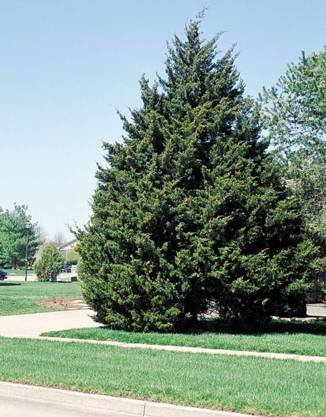 Eastern Red Cedar Established Juniperus Virginiana 12 Plants Roots #GS01 by Gseeds (Image #2)