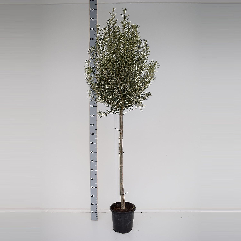 Olivenbaum 15 - 180 cm - Olea europaea essbare Oliven (200-250 cm)