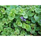 Creeping Charlie aka Glechoma Hederacea Live plant - Fit 4 Inch pot - w FREE GIFT per request - From Bellacia Garden