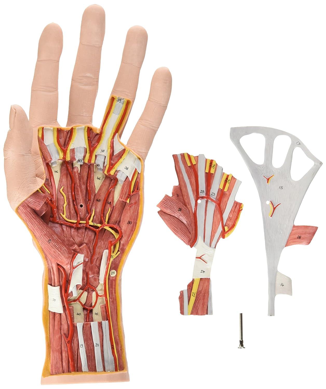 Beste Anatomie Der Hand Bänder Und Sehnen Bilder - Anatomie Ideen ...
