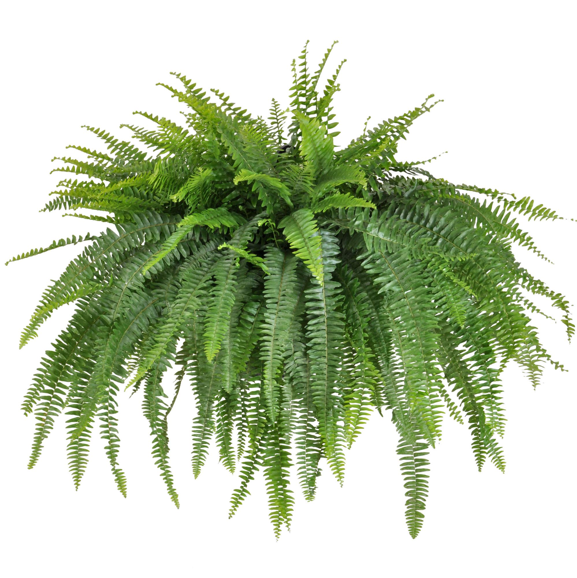 United Nursery Jumbo Boston Fern, Live Indoor and Outdoor Hanging Basket Plant 36-44 inches Shipping Size Shipped Fresh from Our Florida Farm by United Nursery (Image #1)