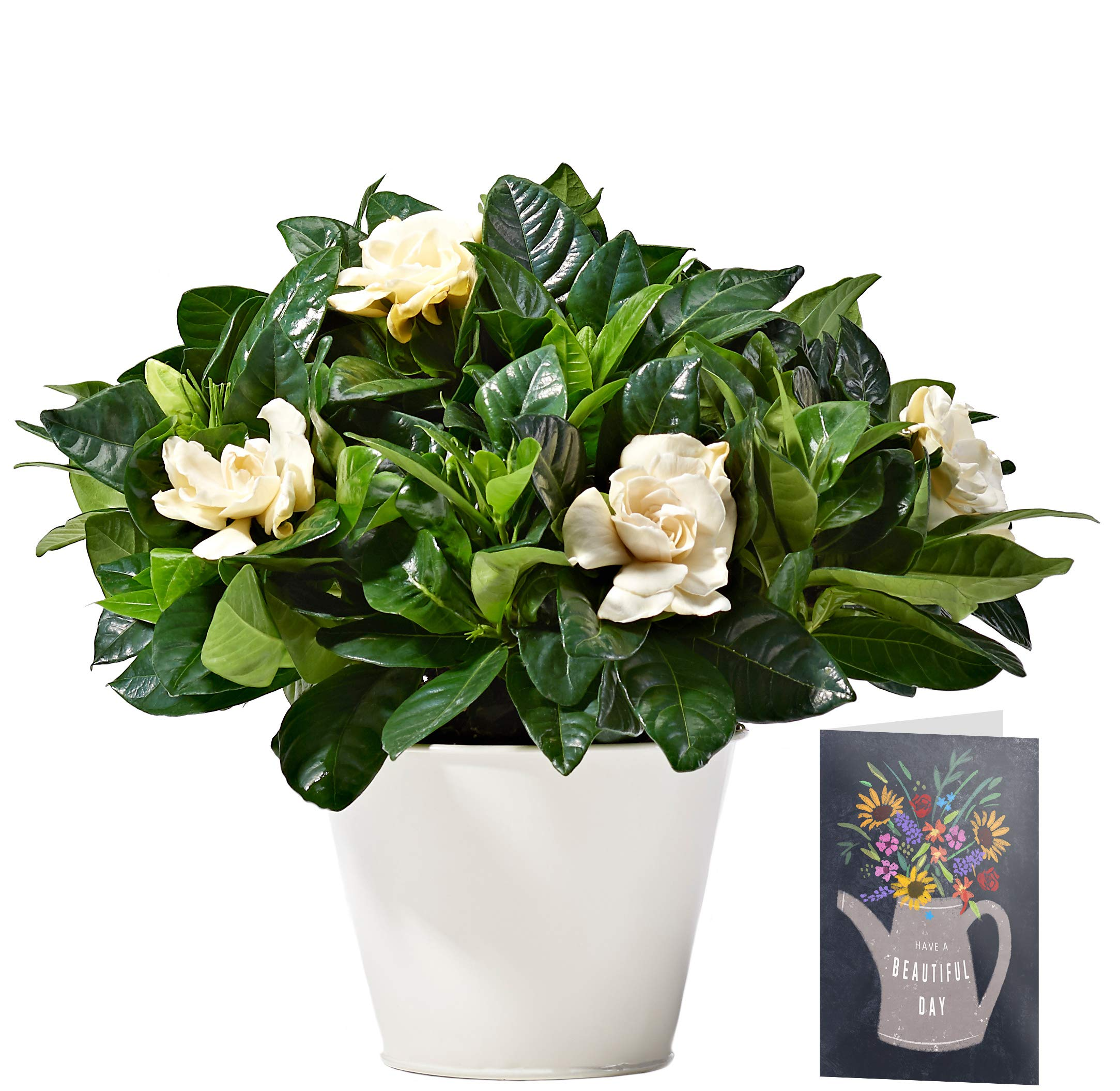 White Gardenia Plant Delivered | Free UK Delivery | Pot Included | FREE Personalised Card & Message | Our Gardenias are the Perfect Indoor House Plants | An Ideal Fresh Flower Thank You Gift for Women