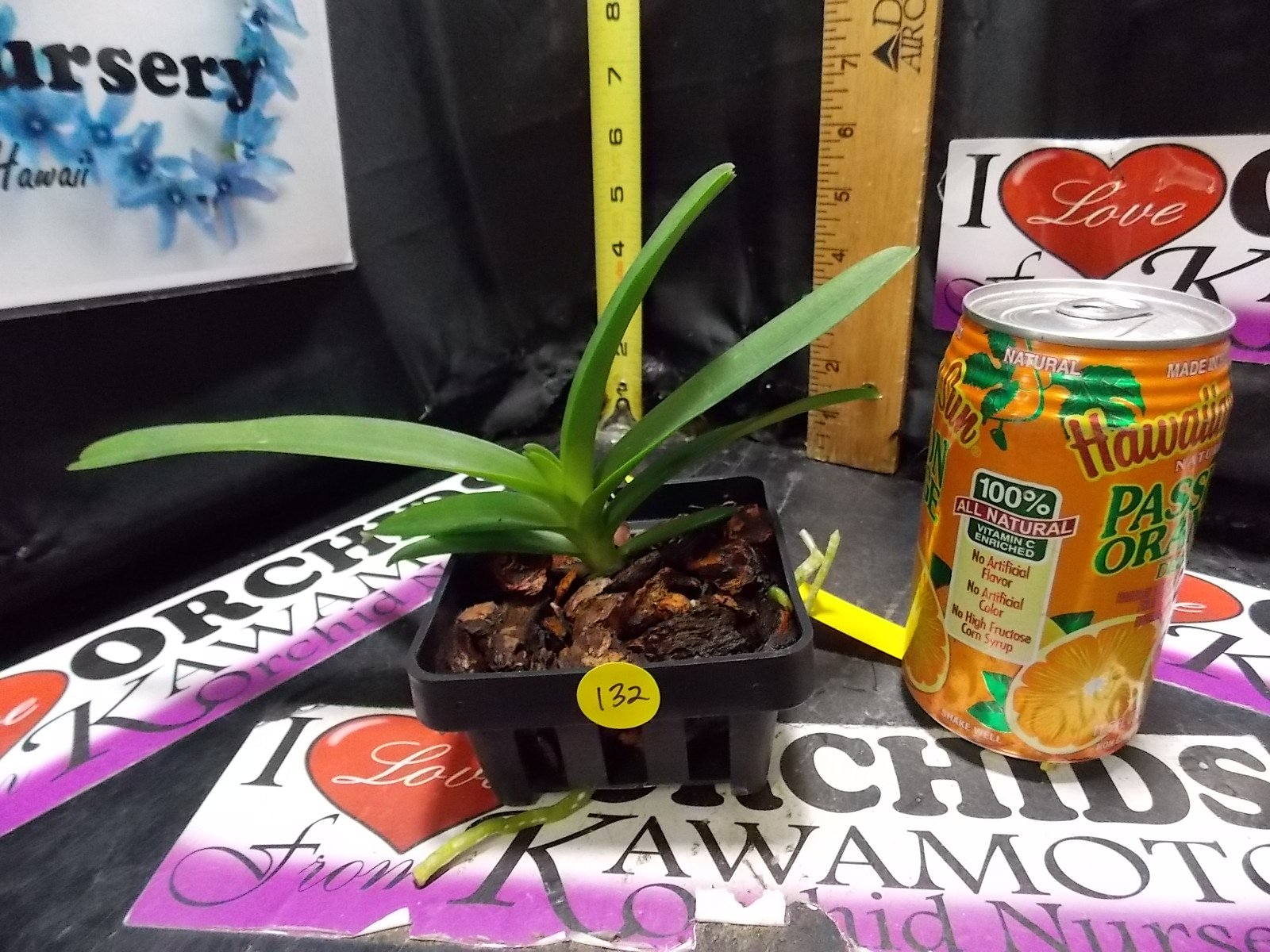 Vanda Robert Delight #358'' (Red) New! Large Flowers! Award Quality Nice Orchid Plant by Kawamoto Orchid Nursery