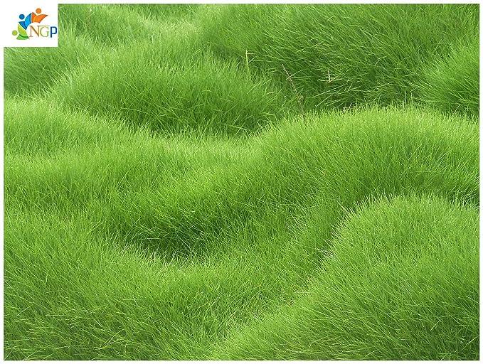 Natural garden plants Lawn Grass Seeds Special Grade Evergreen Lawn - 500 Seeds packet