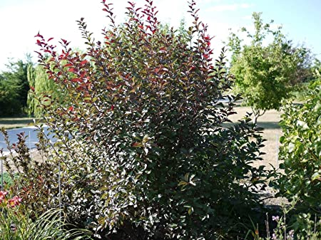 Amazon Com Flowering Purple Leaf Sand Cherry Tree 1 Plant In 1