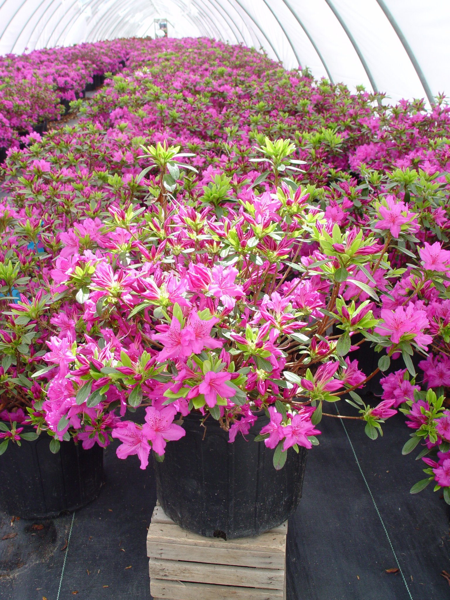 Azalea 'Karen' (Azalea) Shrub, lavender flowers, #3 - Size Container by Green Promise Farms (Image #3)