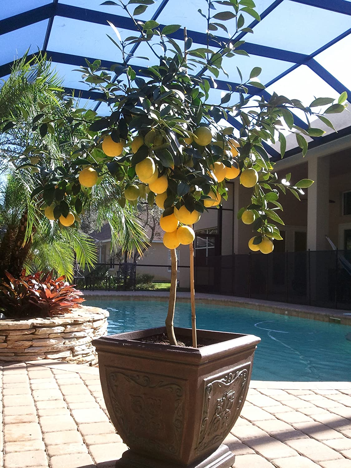amazoncom brighter blooms improved meyer lemon tree up to 4 ft tall get fruit 1st year dwarf fruit tree with sweet lemons live potted