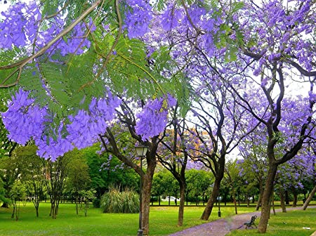 JACARANDA CUSPIDIFOLIA BLUE rare flowering trumpet tree flamboyan seed 100 seeds