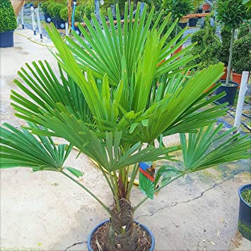 Südseetraum im Badezimmer Große Trachycarpus Palme ca. 140-160 cm ...
