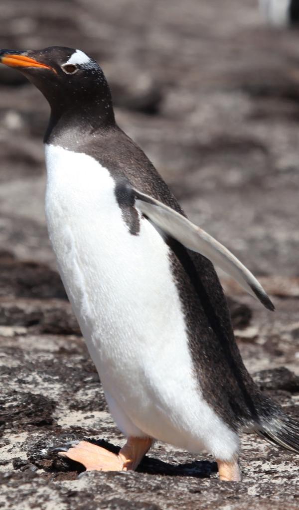 gentoo penguin Wallpaper -- HD Wallpapers of gentoo