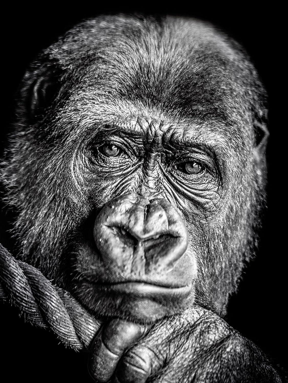 Artland Qualitätsbilder I Bild auf Leinwand Leinwandbilder Wandbilder 60 x 80 cm Tiere Wildtiere Affe Foto Schwarz Weiß D0PW Gorilla