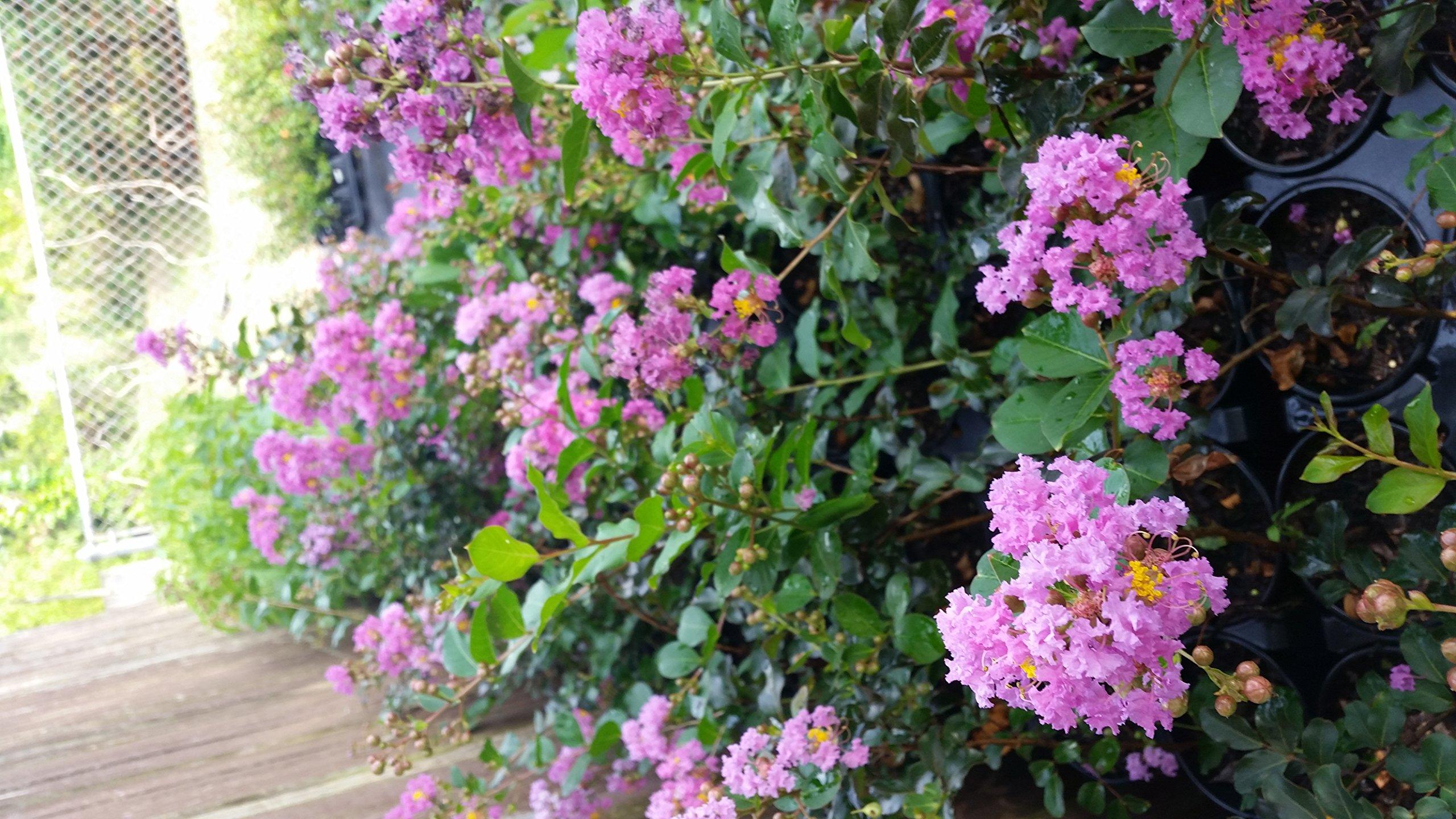 CrapeMyrtleGuy Semi Dwarf Purple Zuni Trees (Pack of 4) by CrapeMyrtleGuy (Image #1)