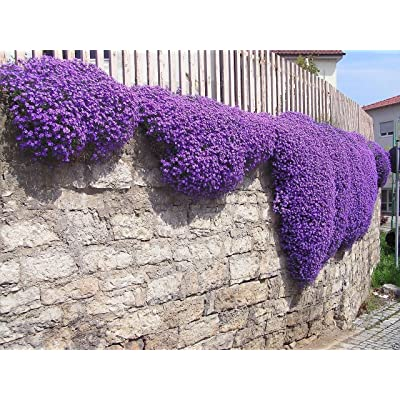 1000 Aubrieta Seeds - Cascade Purple FLOWER SEEDS, PERENNIAL , DEER RESISTANT !: Kitchen & Dining