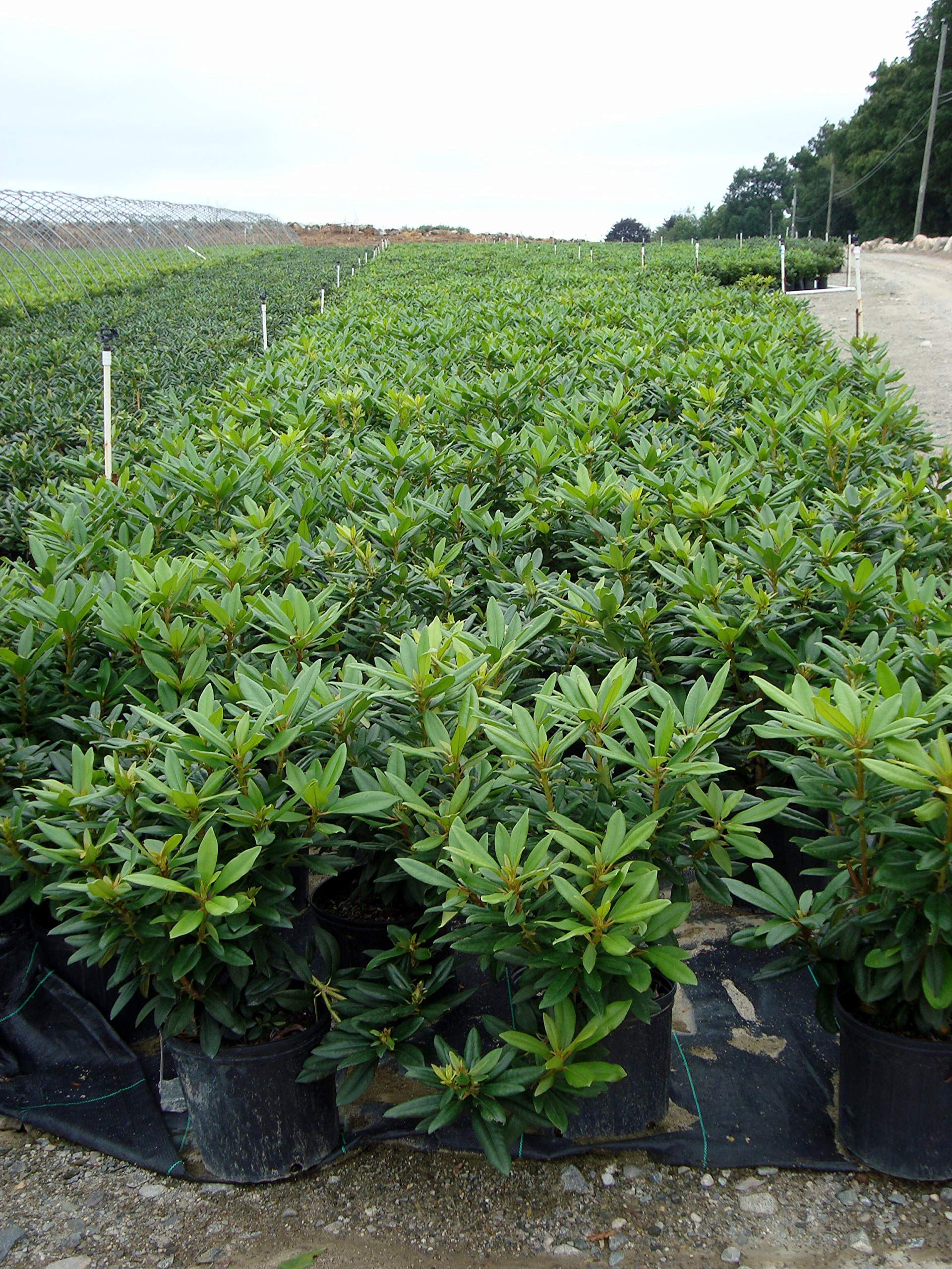 Rhododendron 'Purple Passion' (Rhododendron) Evergreen, purple flowers, #2 - Size Container by Green Promise Farms (Image #4)