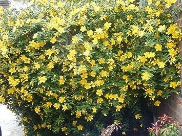 Hypericum Calycinum Rose Of Sharon Plant In 9cm Pot Amazon