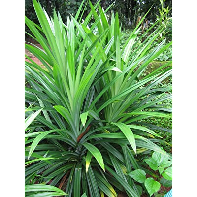 Thai Greenhouse Pandanus Amaryllifolius (Bai Toey) Plant: Young : Garden & Outdoor